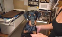 I have a pretty femaleBlack And TanDoberman she will come with health certificate 6 week 8week 12 week shots and bordetella she is ready to go to her for ever home today declaws and tails are done let me