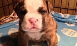 Beautiful brindle & white AKC English Bulldog puppies. They are 4 weeks now and will go home at 8 weeks. Champion bloodline. First shots & good health certificate from my Vet will leave with puppies. Full registration with AKC papers. Call for more info.