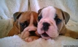 English Bulldog Puppies available. One red and white boy and girl from our current litter, 11 weeks old. The puppies are AKC registered and have been well bred, Excellent pedigree. The Mum is fully health tested clear for HUU and CMR1. The Mum is our