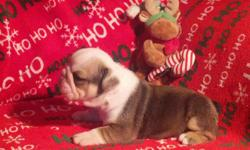 We have 2 males & 1 Female that will be available for pickup 12/23/12. All puppies will be AKC registered. Puppies will be current on shots & wormings. Please feel free to call, text or email with any questions.Visit our website @ www.thebulldoghouse.com.