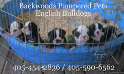 this litter is BEAUTIFUL!!! This litter is AKCCHAMPION bloodline! Up to date on shots ect. There are now 4 pups left. One female with a Blazed face @ 2400.00, One Baldfaced male @ 2400.00 and two other males at 1500.00 Check us out at