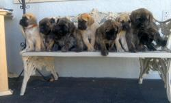 One fawn six Reverse Brindle's all males akc papered born 3/23/16 on National Puppy Day this is a very nice breed will be big dogs excellent protection call 505_573_6255 $1500 cash get one 6 of 10 left sorry all girls gone last 1 bought today at 8 weeks