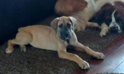 We have a gorgeous female fawn great dane puppy looking for a home. I purchased her to add for our breeding program, but am finding that 3 danes at our house with aSt. Bernard toois just too much for any family that doesn't have someone at