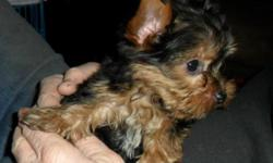 AKC full registration - 9 weeks old - vet checked, wormed, 2 sets of shots. Tail docked, dew claws removed. Beautiful golden coat, recently trimmed the hair off her ears. She will be a standard size yorkie full grown, perfect for younger children. We