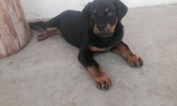 I have one Male German Akc Rottweiler puppy for sale 10 weeks old 2nd shot ready to go block head bery cut