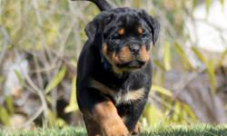 We Have Excellent Puppies Available $1800 ready to go,,,, Out Of our Dogs Kron Vom HochKlasse and Lepa vom HochKlasse,,,, The Sire placed 1st Place at the 2010 USRC SE R Sieger Show Under Judge Uwe petterman ADRK, which is an incredible accomplishment. He
