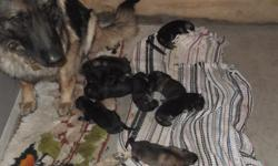 akc pups for sale,mom and dad on site,borned 5/27/2014.mom and dad's hips xrayed hip's are good on mom and dad,have ofa cert.call keith 317-363-8412