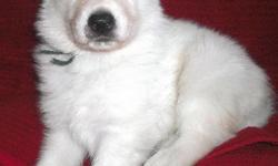 ~~PUPPIES WERE BORN JAN. 19! READY TO GO MARCH 16~~ Eight puppies, 4 boys (2 solid white, 2 black/silver) and 4 girls (3 solid white, 1 black/silver). The pups are very sweet and friendly with great pigment. All standard coats. Available for deposit are: