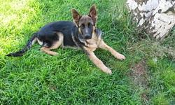 AKC OFA hips and elbows German Shepherd puppy from Germany's finest show and working dogs. Excellent prospect for companion dog, search and rescue, and protection and agility. Guaranteed health,hips and elbows. Shots are up