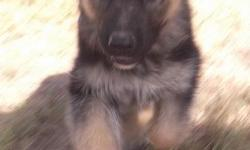 AKC German Shepherd Puppies,2 Females and2 Male, Will be Large Dogs, Excellent Intelligence, Playful, Beautiful,Socialized, Smart as a whip, Lots of championship bloodline, Call me at 750.00 -- or go to our web site at