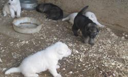 AKC GERMAN SHEPHERD PUPPIES. PUPS WILL BE READY AUG 24...2 white females,2 white males,2 sable females.Parents on site.Will have shots and wormed .Home phone -- or --....400.00each