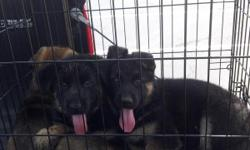 Two black and tan females, one sable male. 10 weeks old, had their first & second shots. Really great puppies, please & call (325)232-5332 these puppies are registered with AKC