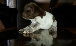 Very nice bird dogs and good blood lines taking deposits now will be ready in 3 weeks last litter sold very quik call or text 4295766