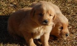 We have 2 girls and 1 boy that are AKC Golden Retrievers. We will also have another litter in about a month. Call for more info 989-304-0368.