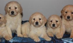 AKC Golden Retriever puppies looking for their forever, loving homes. Our puppies are raised in our home with our 3 children and get tons of love and attention. They are well socialized. They are bathed and played with daily. We have both mom and dad as