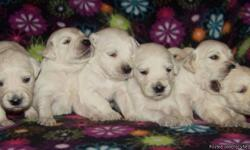 English Cream Golden Retriever puppies ready on March 31st for new families. Parents have perfect dispositions and are health cleared. 3 boys and 1 girl available. Raised in home as our own!! Accepting 200.00 non refundable deposit to