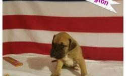 I currently have 4 Dane puppies available. Will be ready September 1st. $300 non refundable deposit to hold. All puppies have had dew claws removed, they will be chipped, UTD on shots and de wormed multiple times before leaving. All puppies come with a
