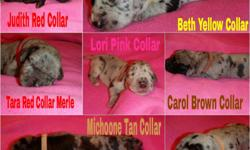 AKC Puppies Located in Texas ready Sept 17. We have available 7 females( 5merles 1 harlequin and 1 black w/w chest) 5 males(2 harlequins 2 black w/w chest and 1 merle). Will come wth 1st shots, dewormed, dew claws removed, vet checked as well as health