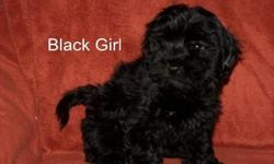 We have adorable Havanese pups. Chocolate and Black and whites. These pups are home raised from our healthy line. Havanesehouse.com. 517 327-8202