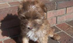 I have 2 AKC male Havanese puppies available. They were whelped on September 19,2013 and are now available for pick up. They have had their dew claws removed and are up to date on all shots and wormings. These 2 boys are amazing, their colors are