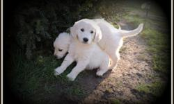 We have, Pure Breed, 10 weeks old, AKC, English Cream Golden Retriever puppies, only 3 males left available for sale. Both parents with International Champion blood line, AKC registered and have a pedigree...Parents is: Prince Jax II and Jessie Bell