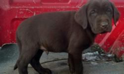 Black, yellow, Red, and chocolate labs. 8 weeks old. Pointing lab pups. Dews,shots, vet checked, 26 month health guarantee.