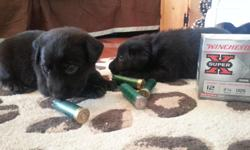 AKC LAB puppies.We still have Two black females and One black male. Dam is 58 pounds and Sire is around 65 pounds and they love to hunt; perfect for the field or duck blind. They are both intelligent and perfectly tempered. Dam has been raised as