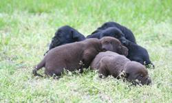 AKC LAB PUPPIES BORN MARCH 6.Please give a call to pick yours out. --. --