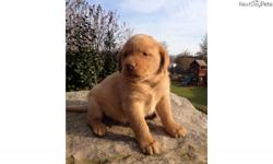 AKC LABRADOR YELLOW MALE . EXCELLENT PEDIGREE AND TEMPERMENT