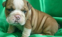 Before purchasing an English Bulldog, please do a little research to ensure you are ready to take on the tasks of a bulldog. Their wrinkles are cute and cuddly but require cleaning each and every day to keep your puppy looking as cute as they can be! text