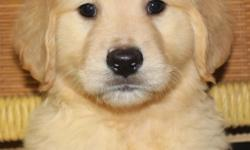 Adorable pure bred male Golden Retriever puppies ready now to go to their forever, loving homes. They were born Jan. 19, 2016. We have 2 males left out of a litter of 9. They are up to date on their shots, dewormed, received an excellent vet check out,