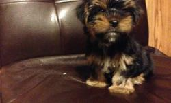 This beautiful little boy is a Parti Gene carrier. He's a very healthy 8 weeks old and charting to weigh 3.0 lbs. full grown. This beautiful puppy has short legs, teddy bear face, beautiful hair and is very loving. He's already paper trained, well