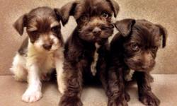 AKC Mini Schnauzers, 9 weeks old and ready for home.  Vet cleared, tailed docked and declaw.  Call 478-284-1014 for details
