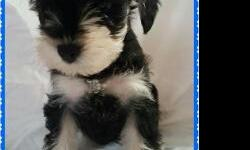 AKC Miniature Schnauzer puppies looking for their forever homes! These sweet babies will be 8 weeks old and ready for their new homes on 8/6. Tails docked and dew claws removed. Ears left natural. UTD on immunization and deworming. They have been raised