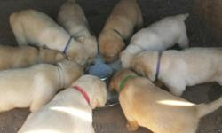 AKC/NKC Registered Lab Retriever Pups. Sire is a 2012 NKC Field Champion, from local professional hunting preserve, available for viewing. Dam with superb pedigree, on-site. Yellow. 4F/5M. Dew Claws, 1st shots, Hip guarantee.