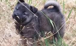 Born May 31, 2014. UDT puppy shots and wormings. Their healthy, friendly, playful and happy. Elkhounds are great, loving family pets. Elkhounds are very affectionate and loyal companions, eager to be by your side whenever possible and can be protective of