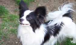 AKC Papillon puppies, Beautiful, sweet and very intelligent toy breed. Will mature to 5-10 pounds. Very adaptable breed no matter what your lifestyle. Check out my website at www.abreedapart.info