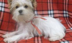 Treasure is a beautiful Parti Colored Yorkie boy with a sweet personality. He is AKC registered, has Champion bloodlines and weighs 2.5 pounds at 19 weeks.He will be your little friend and companion !!
