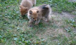 AKC REG, pomeranian puppies, will be 8 weeks July 31st 1 male sable color, vet checked, and UTD on shots, wormed, and heathy. please text me at 419- 544-2773 live in Huntington, IN