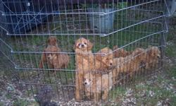 Akc poodle puppies and poobich puppies have males and females, toys and minitures, and dark and light reds. First shots given. They have very loving and intelligent parents. They are home raised with parents on sight. Contact me at sue.faye@aol.com