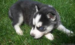 Akc Pure Breed Siberian Husky Puppies. Puppies come with two sets of puppy shots, health certificates from my vet verifying excellent health, as well as their CKC paperwork. Puppies have been on a regular worming schedule since birth. We started