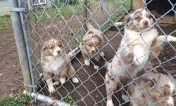 We have 2 female purebred Miniature Australian Shepherd Puppies available. This is the 2nd litter for the Sire and Dam of the pups, born on December 30th, 2014. AKC registered as Miniature American Shepherds. Both puppies look just like their mother, a
