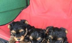 AKC Purebred Yorkie Puppies for sale Our Males and females All will range for 4-5#. Mom weighs 7# and dad weighs 4#. tails cropped and dew claws removed visited the vet at 4 weeks. They r raised in our home with lots of love. Looking for a forever home