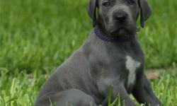 Akc Reg!!!! Great Dane Puppies For Sale..They are the most and all round beautiful pets one can ever have at home and theyare very social and very interacting with home kids and other house pets including cats.Taking in a English Bulldog at your home will