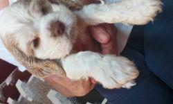 Beautiful cocker spaniel puppies for sale please can 706_776_3908. Vivian Hicks.