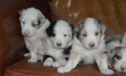 AKC Registered Australian Shepherd Puppies (Full Size). For those interested in a cattle dog, stud's pedigree is available. They are 5 weeks old and will be ready for new homes in 4-5weeks. They will have had there first vaccinations! We have 3