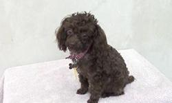 2.7 lb. registered chocolate poodle puppy, teacup. House trained, 6 months old.