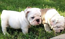 AKC registered English Bulldog puppies. they are ready to go to the perfect home now. Message me if interested! (423) 330-1307