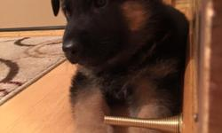 Puppies are from Champion working German lines. Three generation pedigree provided. Both Parents are titled in conformation, agility and/or tracking. They also are therapy dogs so have great personalities. Both male and female are available..For price and