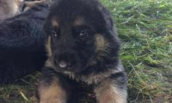 Farm raised, well socialized with children. Good family pet/ guard potential. Excellent German working bloodline. Born June 30, available August 15. Call: 859-481-1921 or 859-325-3685 if interested.
